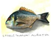 dorada - sparus aurata - pez - pintura - fish -painting -loeschbor